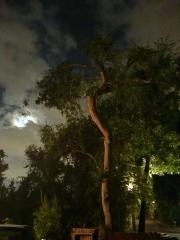 TREE AT NIGHT  - LOS ANGELES